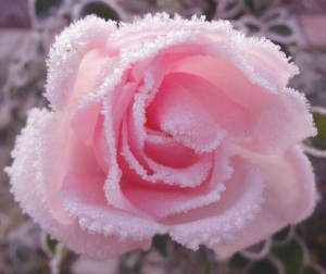 Pink Frosted Rose
